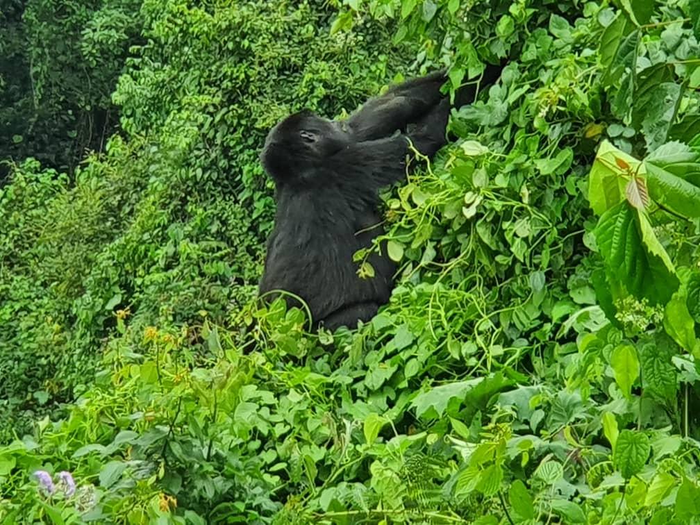 Gorilla Safari Trek